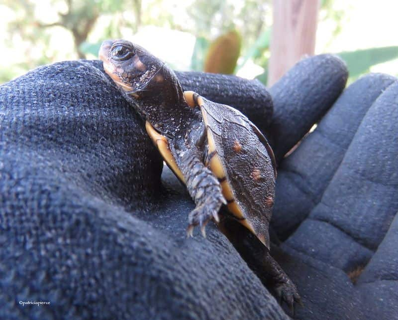 A baby eastern box turtle