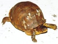 Box Turtle Shell Rot