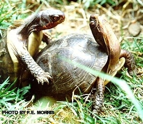 Mating box turtle couple | Information about box turtle breeding