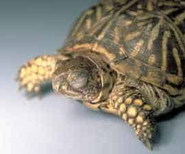 Box turtle health issues - swollen and closed eyes