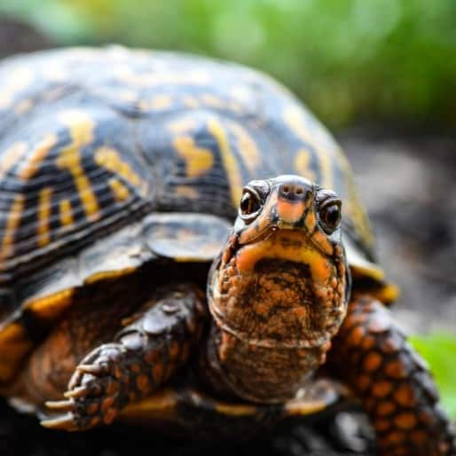 Eastern Box Turtle Close Up Picture