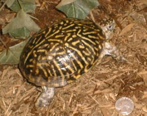 Female Western Ornate box turtle