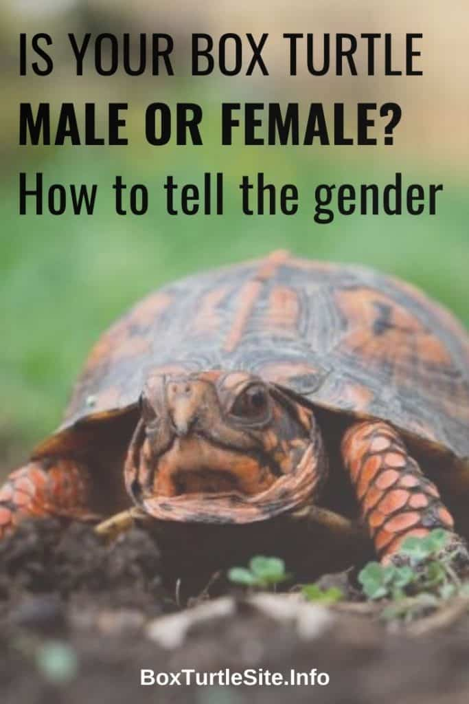 How to tell the gender of your box turtle - learn how to find out if your box turtle is male or female - how to tell the sex of a box turtle