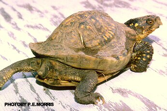 Irregular shell growth - box turtle diseases