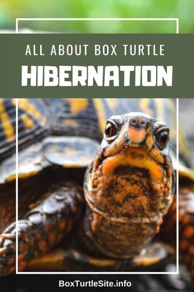 Learn all you need to know about box turtle hibernation. How to prepare a box turtle for hibernation and how to build a box turtle hibernation box