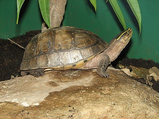 Asian types of box turtles: Malayan box turtle Cuora amboinensis