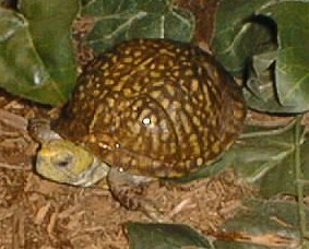 Male Western Ornate box turtle