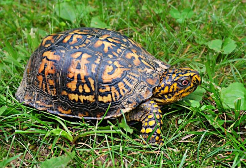 Want to buy a box turtle? Here is everything you need to know