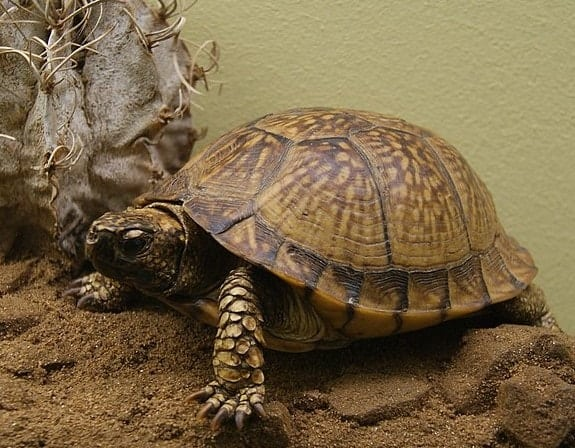 Types of Box Turtles – Overview of Box Turtle Species