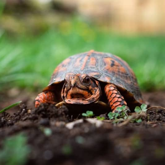 Box Turtle Health Care and Common Diseases - Box Turtle Site