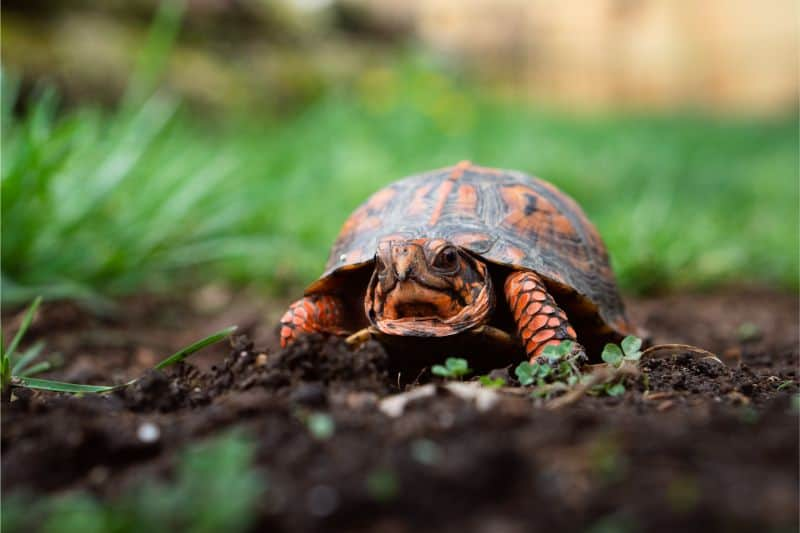 Further Reading and Resources about Box Turtles