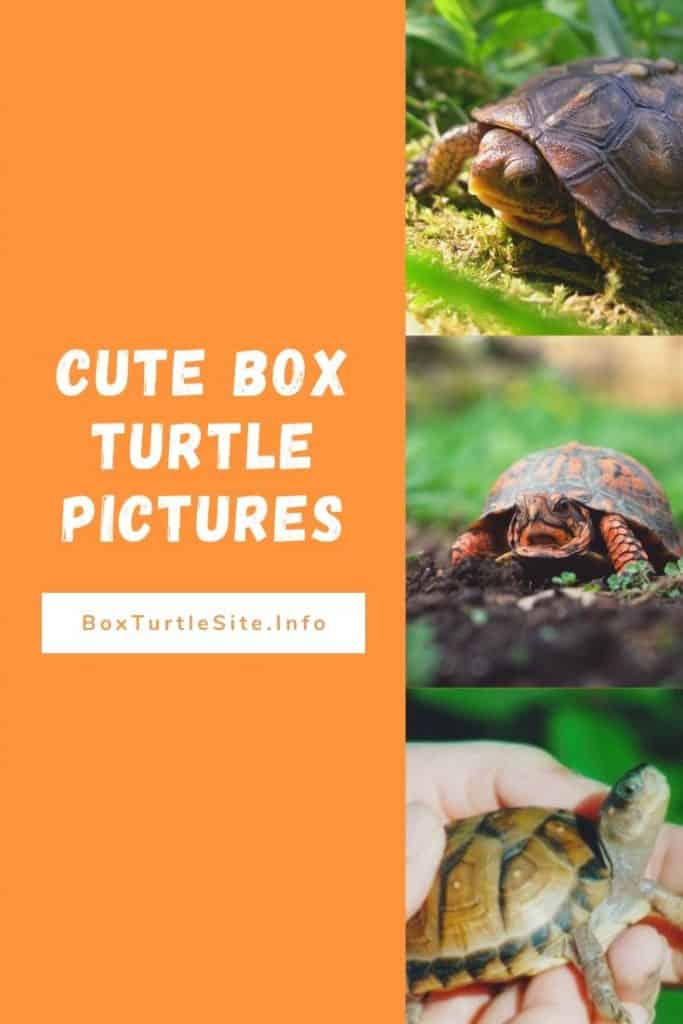 The cutest box turtle pictures on the internet. Box turtle photos and pictures.
