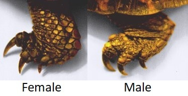 The foot of a female and male box turtle