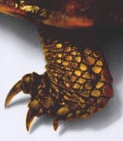 The foot of a female three-toed box turtle