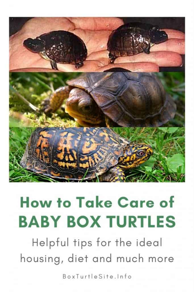 The one-stop information article for breeding box turtles. How to take care of a pregnant box turtle and how to raise baby box turtles
