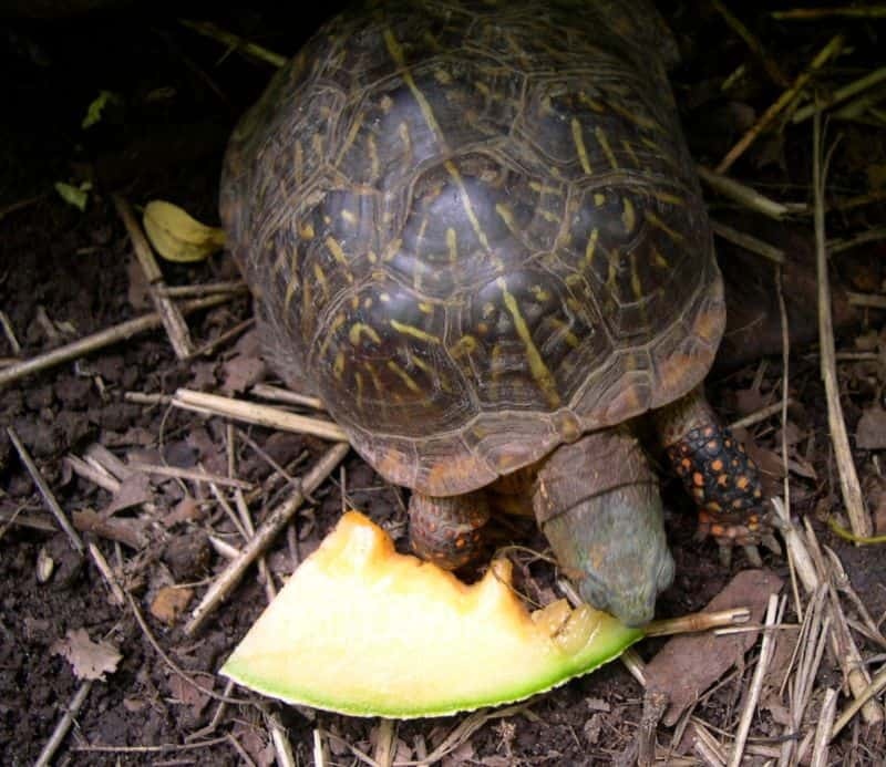 Western Ornate box turtle eating cantaloupe