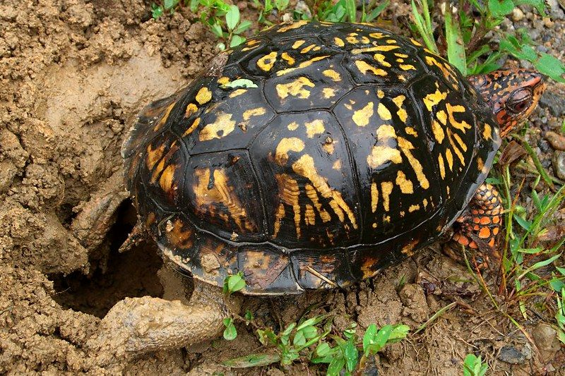 Western Ornate box turtle laying eggs