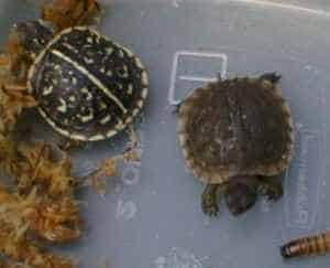 Western ornate and Eastern box turtle baby