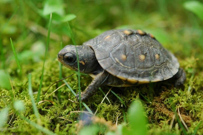 baby box turtle in the forest