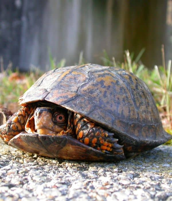 box turtle hiding in shell