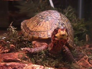 Box Turtle Conservation Story – Box Turtles Given a New Home