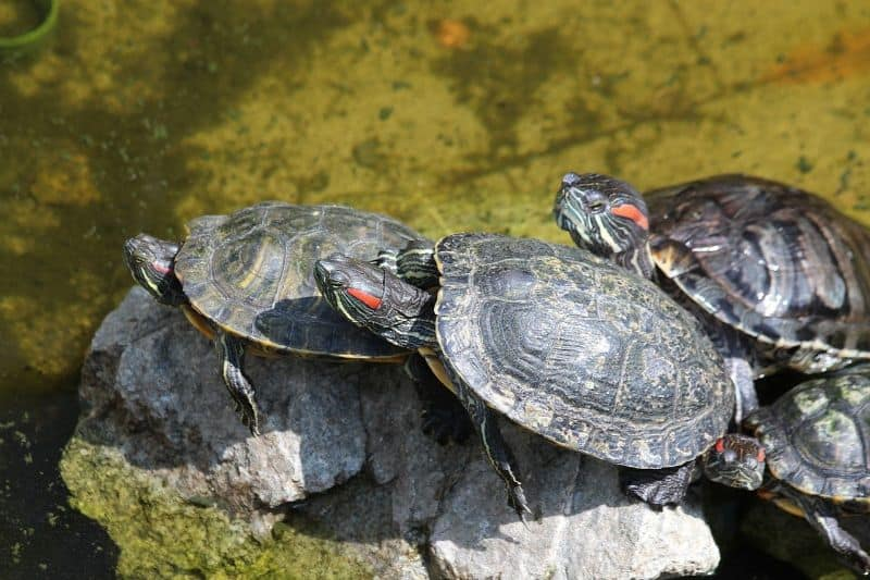What is the Best Turtle as Pet?