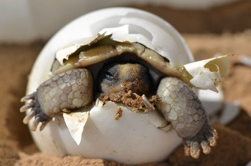 How to hatch turtle eggs